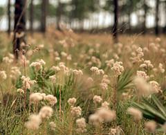 Pine Flatwoods (macromary) Tags: analog 120 120film florida griffinranch ranch 105mm f24 pentax 6x7 kodak iso160 portra kodakportra mediumformat hobesound jonathandickinsonstatepark martincounty wildflowers color colour colorfilm colourfilm color120film film colour120film pineflatwoods prescribedburn floridaecosystem woodland floridawoodland