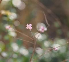 Berries (michaelmueller410) Tags: berries pink winter bokeh dof spring garden