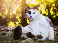 Glamorous cat (roizroiz) Tags: sunset portrait cats pets beautiful cat wonderful magazine interestingness amazing fantastic famous posing mothernature glamorous beautifulsunset i500 preciously morebeautiful littledoglaughedstories