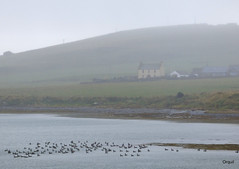 Houton On A Grey Day (orquil) Tags: old uk greatbritain autumn mist farmhouse grey islands bay scotland seaside orkney day wildlife traditional hill shoreline ducks september twostory outbuildings houton headofhouton quoyofhouton