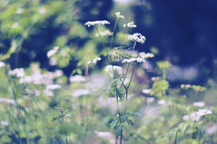 Moody meadows (Paulina_77) Tags: flowers blue light wild summer white plant blur flower detail green nature beautiful beauty field grass closeup vintage season lens 50mm blurry weeds nikon focus scenery soft mood moody dof bokeh outdoor background wildlife details softness mother meadow meadows blurred scene depthoffield mount m42 bloom romantic greenery dreamy swirl shallow pentacon f18 delicate dreamlike tones depth atmospheric tender swirly gentle selective subtle 50mm18 focusing 5018 d90 bloomy pentacon50mmf18 bokehlicious pentacon50mm nikond90 multicoated pentacon50mm18 pola77