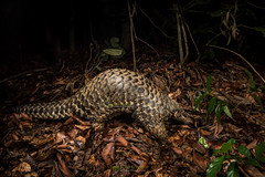 Chinese Pangolin (Manis pentadactyla) (NatureStills) Tags: travel wild vacation india slr tourism nature strange animal fauna fur asian mammal weird highresolution nikon rainforest asia southeastasia traffic natural outdoor wildlife stock nopeople visit tourist professional odd international research jungle scales tropical destination alive endangered nikkor dslr prehistoric biology fareast critical rare bangladesh identify extinction biological oldworld protected obscure bengali vulnerable poached leaflitter organism cites threatened iucn wildlifephotography warmblooded d810 endotherm naturestills chinesepangolin manispentadactyla scotttrageser httpwwwnaturestillscom bangladeshpythonproject
