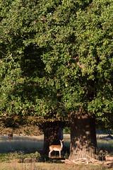 Richmond Park, study7, 09/15 (Sirli Raitma Photography) Tags: autumn england london landscape wildlife september deer royalparks richmondpark wildanimals 2015 landscapephotography wildlifephotography sirliraitma