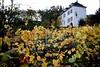 Vignes de Montmartre (nickcoates74) Tags: autumn paris france automne vineyard îledefrance sony sigma 18th montmartre alpha arrondissement vignes 18eme francefrance a6000 ilce6000 30mmf24dn