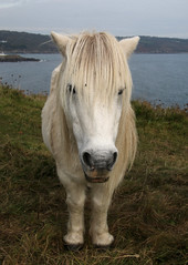 Gerald (Raphooey) Tags: uk england horse southwest west grass st canon eos grey cornwall south gray lizard pony gerald national points mow trust gb bracken mower shetland mane coverack 70d keverne meneage chynhalls