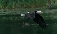 RBP.jpg (gmagoo1) Tags: bridge red bird nova animal pond eagle outdoor bald aquatic scotia dartmouth redbridgepond