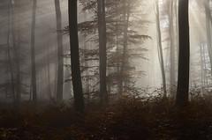 DSC_8716 ein Traum am Morgen im Wald - a dream in the morning in the forest (baerli08ww) Tags: autumn light mist fall fog forest germany deutschland licht nebel herbst wald rheinlandpfalz westerwald