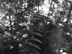 (Ieva Balode) Tags: bw mamiya nature monochrome analog mediumformat exposure kodak doubleexposure balckandwhite multi 246 320txp