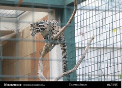 Nebelparda (Deso1904) Tags: berlin parda tierparkberlin raubkatze