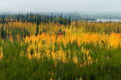 Autumn mosaic, Yukon (RobM333) Tags: autumn trees abstract fall poplar yukon aspen spruce stewartriver