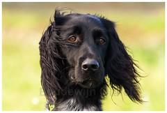 Grote Munsterlander (bo foto) Tags: natuur boudewijn grote fotograaf honden munsterlander olthof littledoglaughedstories hondenfoografie