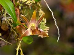 epigeneium nakaharaei (Eerika Schulz) Tags: epigeneium nakaharaei orchidee orchideen orchid orchids eerika schulz