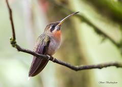 Band-tailed Barbthroat (sbuckinghamnj) Tags: hummingbird honduras riosantiago bandtailedbarbthroat