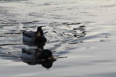 Last shot of the day. (Gavin Clack) Tags: uk shadow reflection evening duck surrey mallard drake