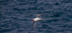 Red-billed Tropicbird (skram1v) Tags: galapagos tropicbird bloodred redbilled equitor tailstreamers oct2015 blackeyebar