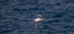 Red-billed Tropicbird (skram1v) Tags: galapagos tropicbird bloodred redbilled equitor tailstreamers oct2015 blackeyebar