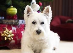 (paulh192) Tags: christmas holiday westie westhighlandwhiteterrier snoopi