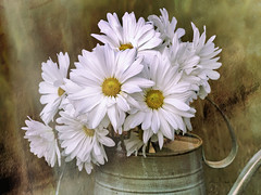 Daisies in Antique Watering Can (Explore 12 Dec 16) (Rebecca at Bellesouth Studio) Tags: daisy bouquet vase flower flowers nature petal perennial blossom bloom container tin spring unitedstatesofamerica daisies texture wateringcan bellesouthstudio