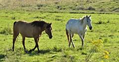 cavalos (jakza - Jaque Zattera) Tags: campo juá dois