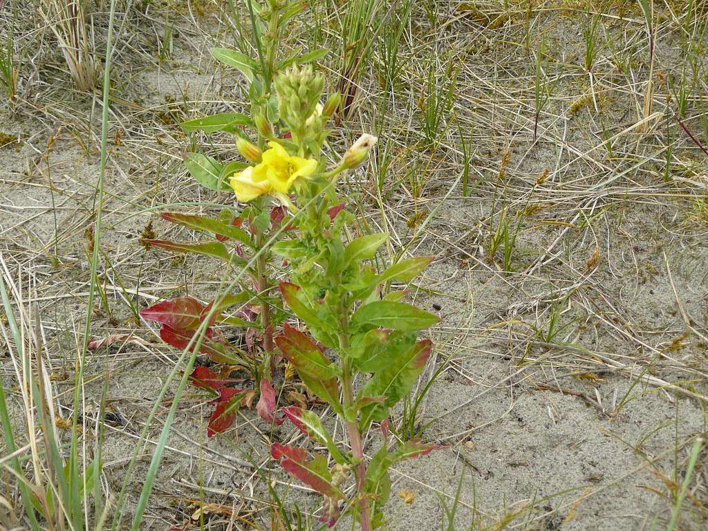 Oenothera ammophila-1