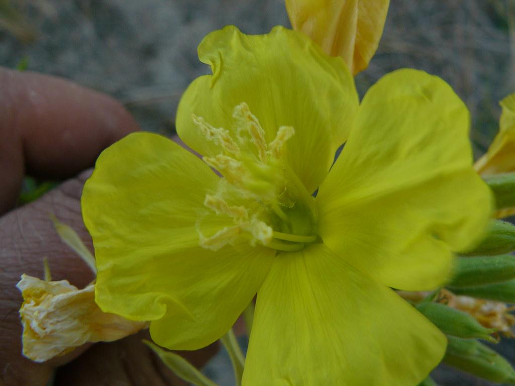 Oenothera ammophila- Strand-Nachtkerze1
