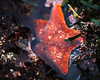 Sea Star (San Francisco Gal) Tags: seastar starfish tidepool lowtide pointlobosstatenaturalreserve pointlobos