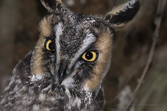 Long-Eared Owl / Hibou moyen-duc / Asio otus (FRITSCHI PHOTOGRAPHY) Tags: longearedowl hiboumoyenduc asiootus dorval
