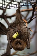 Rodrigues Fruit Bat (ToddLahman) Tags: rodriguesfruitbat rodrigues fruit bat sandiegozoosafaripark safaripark sigma150500 canon7dmkii canon tokina tokinaatxm100afprod macro closeup indoor escondido
