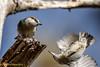I'm fallinggggg!!! (danielusescanon) Tags: cbec brownheadednuthatch sittapusilla wild falling perched passeriformes sittidae maryland birdperfect animalplanet bif