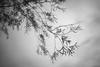 - (Mr.Groka (Gorka Valencia)) Tags: ramas hojas arbol sauce mimbrera contraluz blancoynegro árbol salix bn bw blackandwhite byn tree