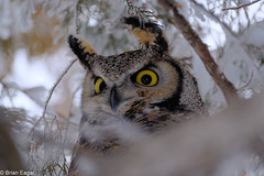 Great Horned Owl 6- ISO 3200 (Brian Eagar Nature Photography) Tags: bird animal nature wildliffe outdoor outside