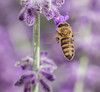 Lavender Bee. (Omygodtom) Tags: lavender bokeh bug bee insect existinglight elitebugs macro tamron90mm tamron natural nature nikon d7100 composition colorful contrast outdoors
