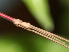 Bacillus rossius ♂ (Pietro Niolu) Tags: phasmatoidea bacillus bacillusrossius insettostecco villanovamonteleone sardegna