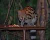 IMGP0909b (Micano2008) Tags: kenia africa pentax parquenacional masaimara mamifero gineta genettagenetta