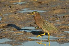 Sandbar strut {Explored} (ChicagoBob46) Tags: greenheron heron bird jndingdarlingnwr florida sanibel sanibelisland nature wildlife explore explored