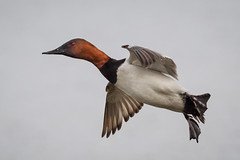 Canvasback Drake (tresed47) Tags: 2017 201701jan 20170119marylandbirds birds cambridge canon7d canvasbackduck content ducks folder maryland peterscamera petersphotos places takenby us ngc npc