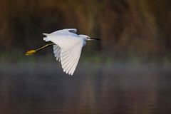 Flying Snow (gseloff) Tags: snowyegret bird flight bif wildlife horsepenbayou pasadena texas kayakphotography gseloff