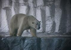 Polar Bear (Serlunar (tks for 5.5 million views)) Tags: serlunar polar bear urso foto photo aquario de sao paulo