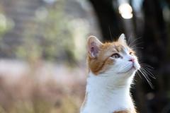 (Vitatrix) Tags: katze kater jungkater outdoor bokeh getigert gatto chat cat tier animal felis
