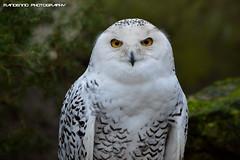 Snow owl - Tierpark Nordhorn (Mandenno photography) Tags: dierenpark dierentuin dieren duitsland animal animals germany snow snowowl owl bird birds owls nordhorn tierpark