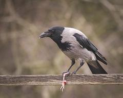 crow hoodedcrow wrona wronasiwa corvuscornix