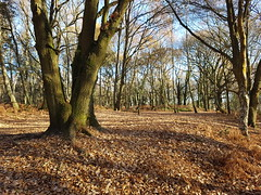 20161204_124654 (chrisdunsdon) Tags: nature outdoors lastlight goldenhour sunshine woods trees autumn walking outandabout uk nikond5100