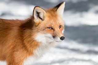 Mister Red Fox