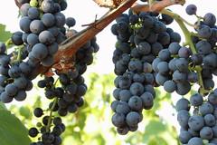 Weinrebe (Klaus R. aus O.) Tags: red white vineyard wine drink stock harvest vine alcohol grapes trinken alkohol wein weinberg trauben ernte lese rotwein weinrebe weiswein