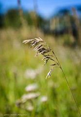 The Simple Things (Witty nickname) Tags: nature grass gold golden dof simple d800 fishcreekpark nikkor2470mmf28 nikond800