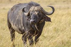 DSC02527 (kitefarrago) Tags: kenya year bovids mammals locations masaimara 2014 africanbuffalo eventoedungulates