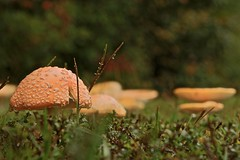 Hobbit Homes (jim fleckenstein) Tags: plant mushroom fungus amanitamuscaria hobbit aliceinwonderland decomposer
