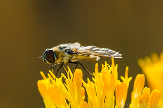 Hoverfly On Goldenrod