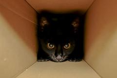 Polly, in the Box (Tria-media_Sven) Tags: shadow pet cat canon eyes kitten bestof darkness box evil böse polly katze paws augen mad schatten haustier kätzchen pfoten dunkelheit kiste pollyana canoneos400d