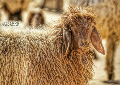 #_  #_ #animals #Sheep #goats # #Sheeps  # # # #  #hdr #sonyalpha #landscape # # # #_ # # # # # # # # #WHPcamouflage  #_ (photography AbdullahAlSaeed) Tags: animals landscape sheep goats sheeps hdr            sonyalpha           whpcamouflage